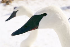 White swans bird Royalty Free Stock Images