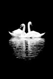 White swans on the black background Royalty Free Stock Images