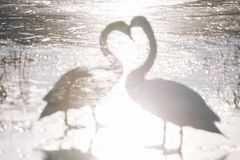 Beautiful white swan family lake romance seasonal postcard selective blue water gently day valentine nature love winter ice. White swans on a blue lake Stock Photos