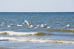 White swans Royalty Free Stock Image