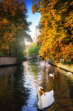 White swans in canal. Bruges, Belgium Royalty Free Stock Photos