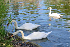 White swans are on the  of the city pond Royalty Free Stock Image