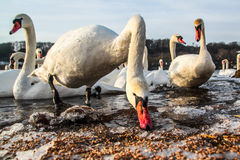 White swans in the cold winter. White swans searching for food during the cold winter Stock Photography