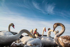 White swans in the cold winter. White swans searching for food during the cold winter Stock Photos
