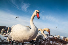 White swans in the cold winter. White swans searching for food during the cold winter Stock Image