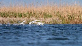 White swans colony on lake from in Danube Delta , Romania wildlife bird watching stock photography