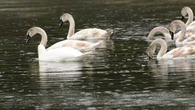 White swans (Cygnus olor) stock video footage
