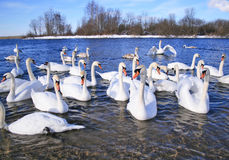 White swans on dark blue water of winter lake. White swans on water of winter lake Royalty Free Stock Photo