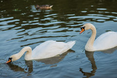 White swans and duck on the summer lake swimming. And feeding Stock Image