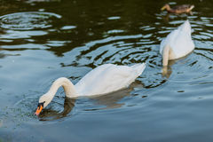 White swans and duck on the summer lake swimming. And feeding Stock Photography