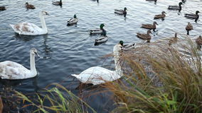 White swans and ducks stock video