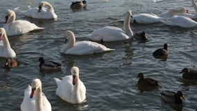 White swans and ducks stock footage
