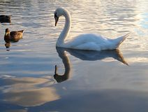 Birds from the Forfar lake. Royalty Free Stock Photography