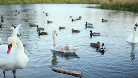 White swans and ducks slow motion stock footage