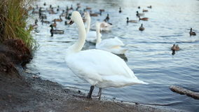 White swans and ducks slow motion stock video