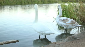 White swans and ducks slow motion stock video footage