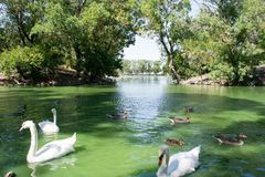 White swans and ducks swim in the lake in the afternoon stock photos