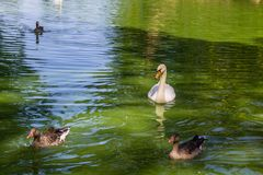 Swans and ducks swimming in the lake. White swans and ducks swimming in the lake Stock Image