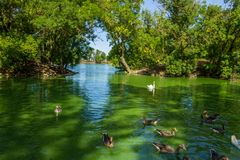 Swans and ducks swimming in the lake. White swans and ducks swimming in the lake Royalty Free Stock Photo