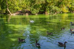 Swans and ducks swimming in the lake. White swans and ducks swimming in the lake Stock Photo