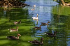 Swans and ducks swimming in the lake. White swans and ducks swimming in the lake Royalty Free Stock Photography