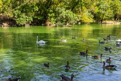 Swans and ducks swimming in the lake. White swans and ducks swimming in the lake Royalty Free Stock Image