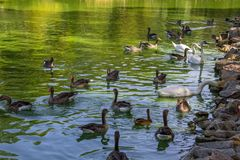 Swans and ducks swimming in the lake. White swans and ducks swimming in the lake Stock Images
