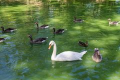 Swans and ducks swimming in the lake. White swans and ducks swimming in the lake Royalty Free Stock Photos