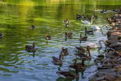 Swans and ducks swimming in the lake. White swans and ducks swimming in the lake Stock Photography