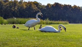 White swans eating grass with ducks in green summer park. Wild birds concept. White swans eating grass with ducks in green summer park. Elegance and peace royalty free stock photography