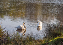 White swans Royalty Free Stock Image