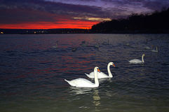 White swans in evenig sea. Group of swans floating in calm evening sea against dramatic flaming twilight sky, Black sea coast Stock Photos