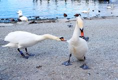 Swan fighting by the lake royalty free stock photo