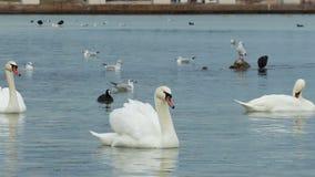 White swans stock video