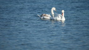 White swans stock video footage