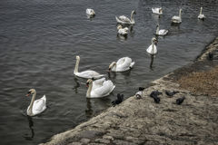 White Swans. A flock of white swans on Danube Royalty Free Stock Images