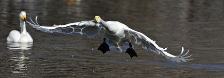 White swans flying Royalty Free Stock Image