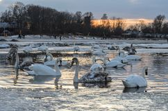 White swans on the frozen coast of Baltic sea, Latvia, Jurmala royalty free stock photography