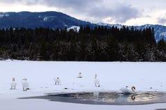 White swans on a frozen lake in Bavaria Stock Photo