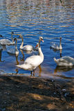 White swans on the glistening water of lake Royalty Free Stock Image