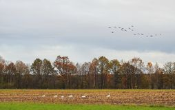 Autumn field and birds, Lithuania Stock Photos