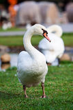 White swans on green grass field Royalty Free Stock Photos