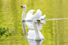White swans on green lake water reflecting the foliage in sunny day, swans on pond. Royalty Free Stock Image