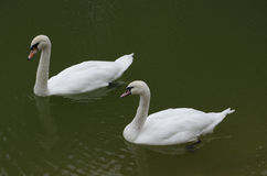 White swans on the green water. ! stock photography