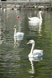 White Swans. A group of White Swans Cygnus olor swimming in a pond in the city of Stavanger, Norway Royalty Free Stock Photo