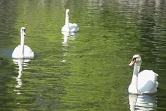 White Swans. A group of White Swans Cygnus olor swimming in a pond in Stavanger, Norway Stock Photo