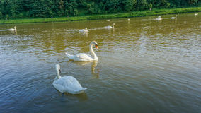 White swans. A group of white swans on a river Royalty Free Stock Photos