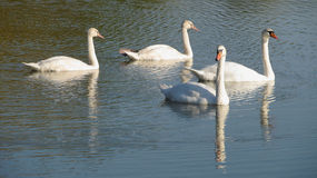 White swans Stock Images