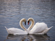 White Swans Heart. Two White Swans together creating a heart on the river Vltava royalty free stock images