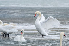 White swans on ice frozen sea. Stock Images